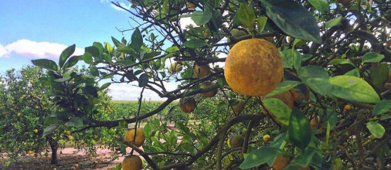 Citrus fruit damage
