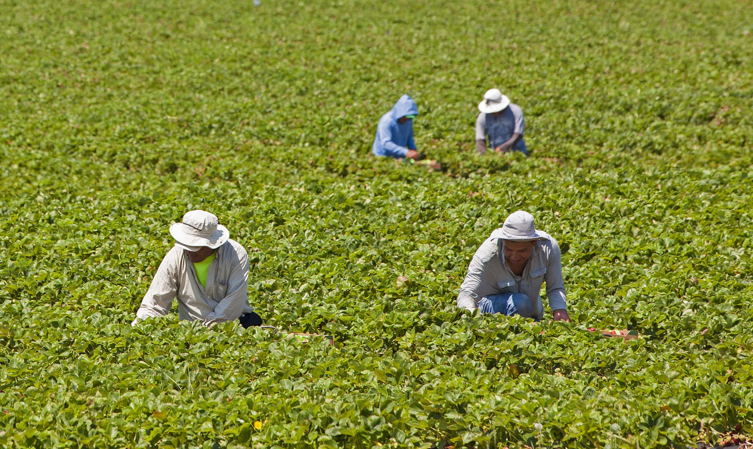 Farmworkers in the field